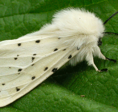 white ermin moth