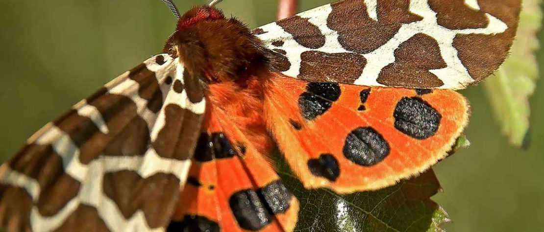 Moths in Close Up 22 July 2017 09:30