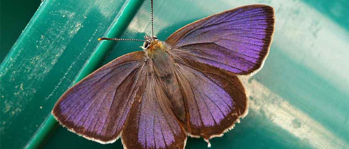 Purple Hairstreak Butterfly survey Wednesday 17th July 2019:  7.00pm